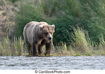 Alaskan brown bear - An Alaskan brown bear in the water of...