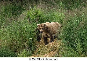 Alaskan brown bear sow - An Alaskan brown bear sow along the...