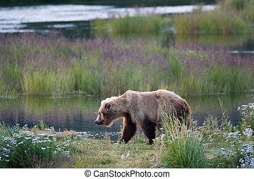 Alaskan brown bear sow - An Alaskan brown bear sow walks...