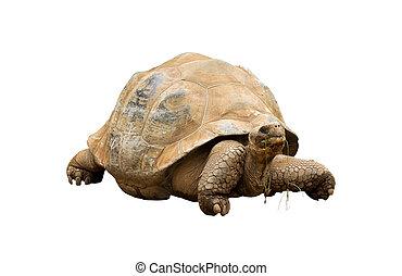 An Aldabra Giant Tortoise (Geochelone gigantea) chewing...
