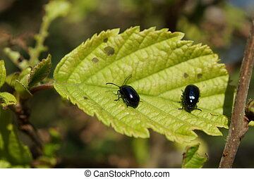 Alder Leaf Beetle - Agelastica alni