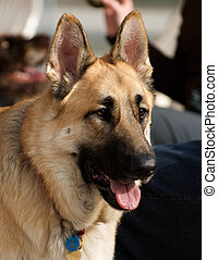 An alert German Shepherd Dog