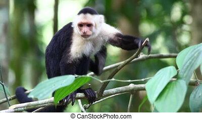 An alert Wild White-faced Capuchin becoming agitated - Alert...