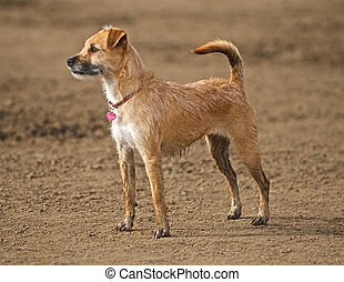 A small Wirehair Terrier is aware and alert to all of the happenings around him.