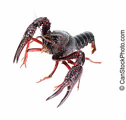 alive crawfish - an alive crawfish isolated on white...