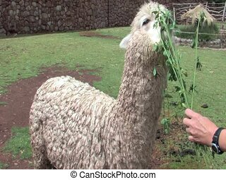 Alpaca - An Alpaca eating grass in Peru, South America