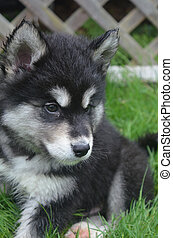 An Alusky Puppy with Beautiful Markings on his Face
