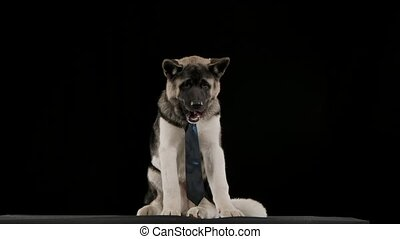 An American Akita in an electric blue tie, licking his lips and chewing on something in slow motion. The dog sits in the studio on a black background. Dinner. Close up