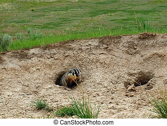 An American Badger at the Entrance of its Burrow