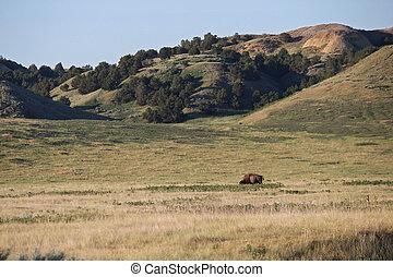 An American bison grazes alone in the grasslands of South Dakota.