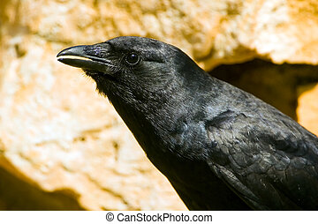 An American Crow perched
