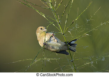 American Goldfinch - An American Goldfinch feeding on wild ...