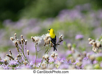 American Goldfinch Sitting on Thistle Down