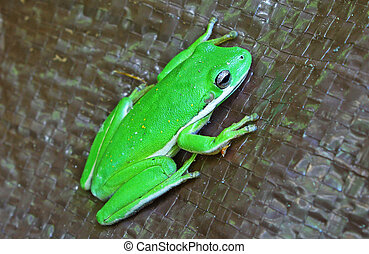 An American Green Tree Frog outside on a brown tarp.