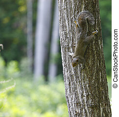 An American grey Squirrel, climbing down a tree with room for your text.