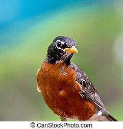 American Robin - An American Robin with a deep orange and...