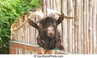 An animal is a goat with large horns. - An animal of a goat ...