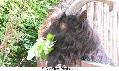 An animal of a goat eats leaves. - An animal of a goat eats ...