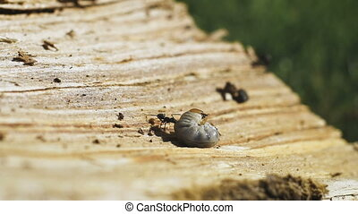 An ant eating a worm. Life is pain, be real