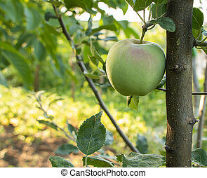 an apple in a tree grows naturally, copy space