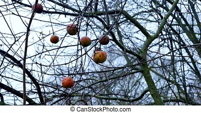 An apple tree, in a rainy autumn day