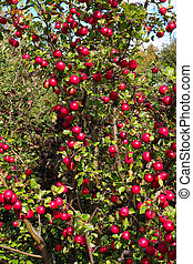 An apple tree loaded with red crab apples.