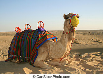 Arabian Camel - An Arabian Camel in the desert