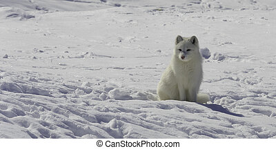 An Arctic Fox in Quebec