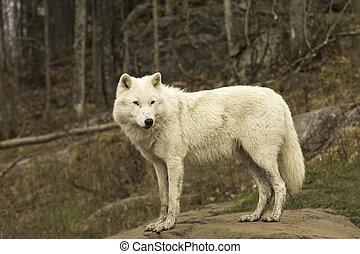 An Arctic Wolf