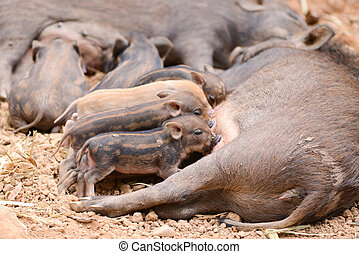 wild boar feeding their baby - an asiatic wild boar feeding...