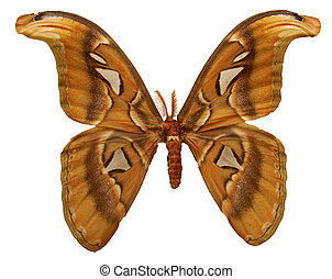 Atlas Moth - An Atlas Moth originally glued to a board