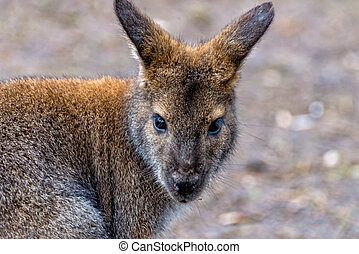 Australian kangaroo curiously looks at its surroundings - An...