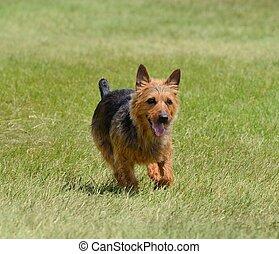 An Australian Terrier Running on the Grass