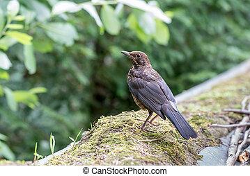 An Common blackbird