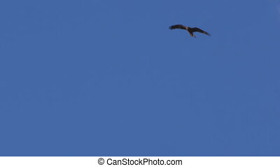 An eagle with white clouds and blue sky shot