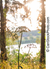 An early misty autumn morning. Hogweed in the forest. - ...