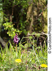 An Early Purple Orchid (Orchis mascula) flowering near East Grinstead