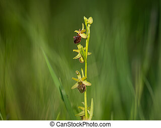 An early spider orchid on a sunny morning in spring