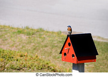 An Eastern Bluebird perched in the outdoors.