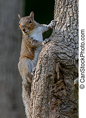 An eastern gray squirrel