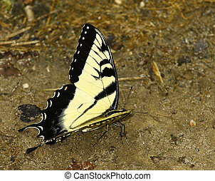 An Eastern Tiger Swallowtail Butterfly on the ground eating something with room for your text.