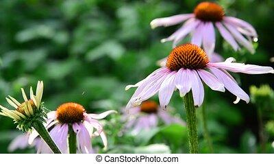 An echinacea flowers in the garden