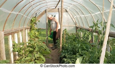 An elderly man is watering plants in a greenhouse. High tomatoes and peppers will soon ripen. The concept of healthy eating