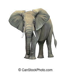An elephant cow standing isolated, Big adult Asian elephant. Front view with big ears
