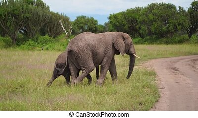 an elephant hides a little elephant and graze in the bushes among the candelabra trees