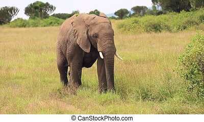 elephants graze peacefully in the fields of the African Savannah. Background views of nature