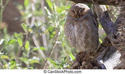 Elf Owl, Micrathene whitneyi roosting - An Elf Owl,...