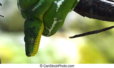 An Emerald tree boa snake curled up on the tree branch....