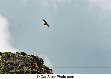 An endangered bearded vulture (Gypaetus barbatus)with the ...