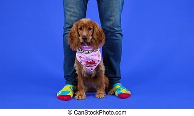 An English cocker spaniel in a pink bib sits at the feet of the owner in the studio on a blue background. The pet looks around and raises its head to look at the owner. Slow motion. Close up